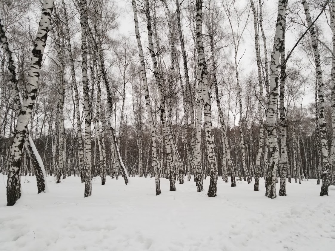 Myrhorod birch grove
