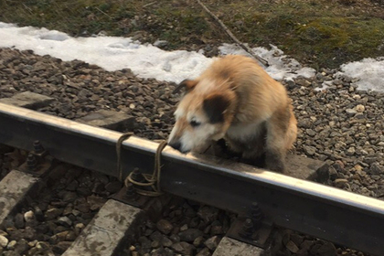 Dog on railroad tracks
