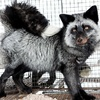 A Soviet Fox for Post-Soviet Man