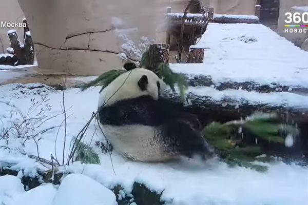 Panda Becomes Moscow Grinch