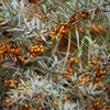 The Sea Buckthorn: Russia's Berry Best
