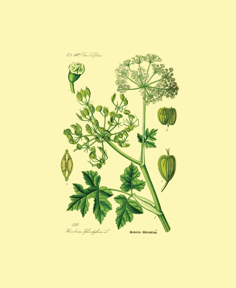 Hogweed instead of Birches